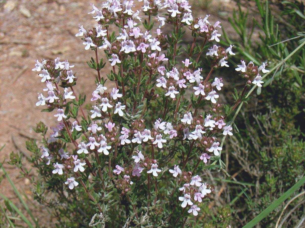 Il timo è un'erba che può essere inclusa nel giardino aromatico.