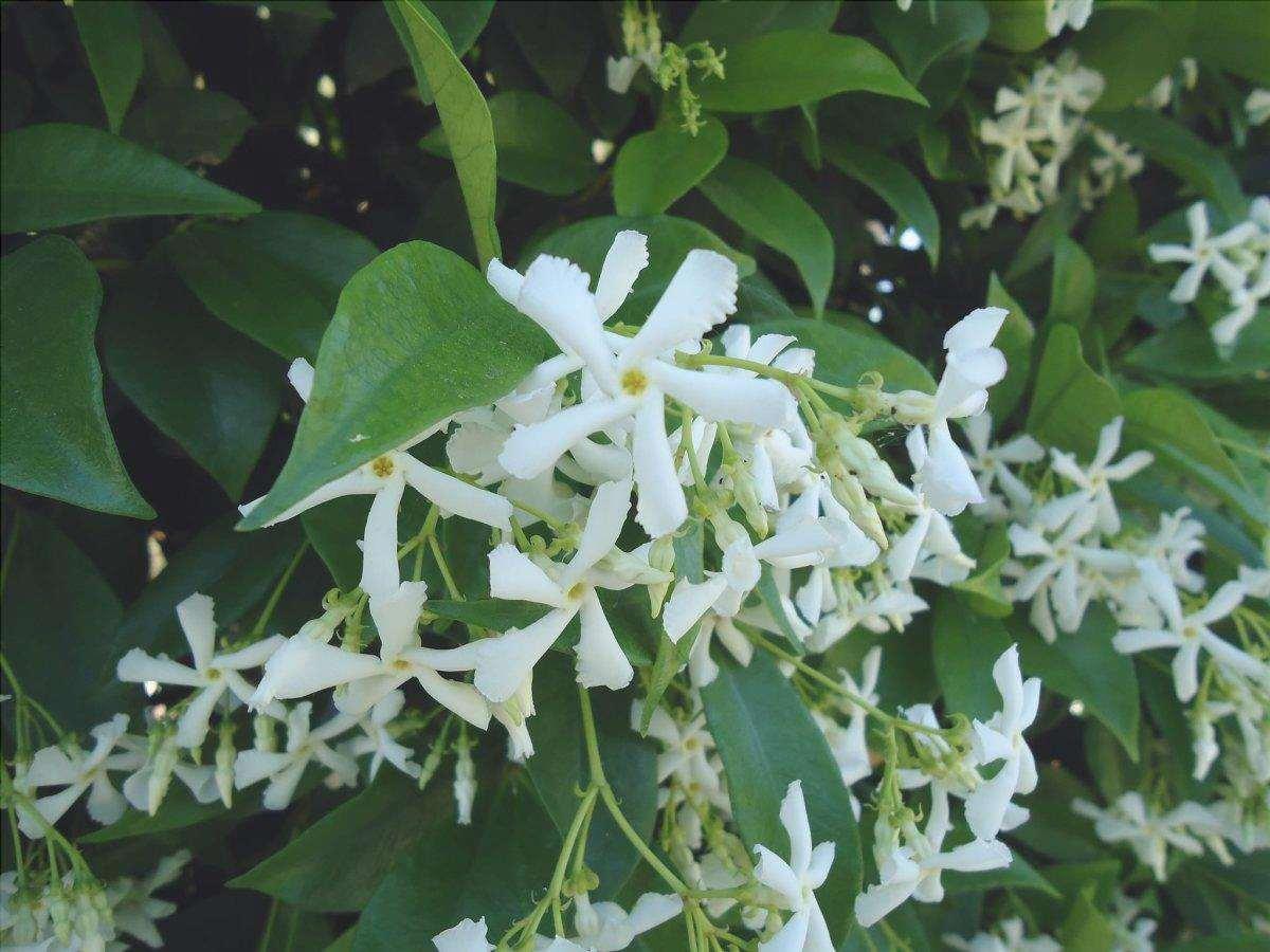 Trachelospermum jasminioides è una pianta da giardino invernale che produce fiori bianchi.