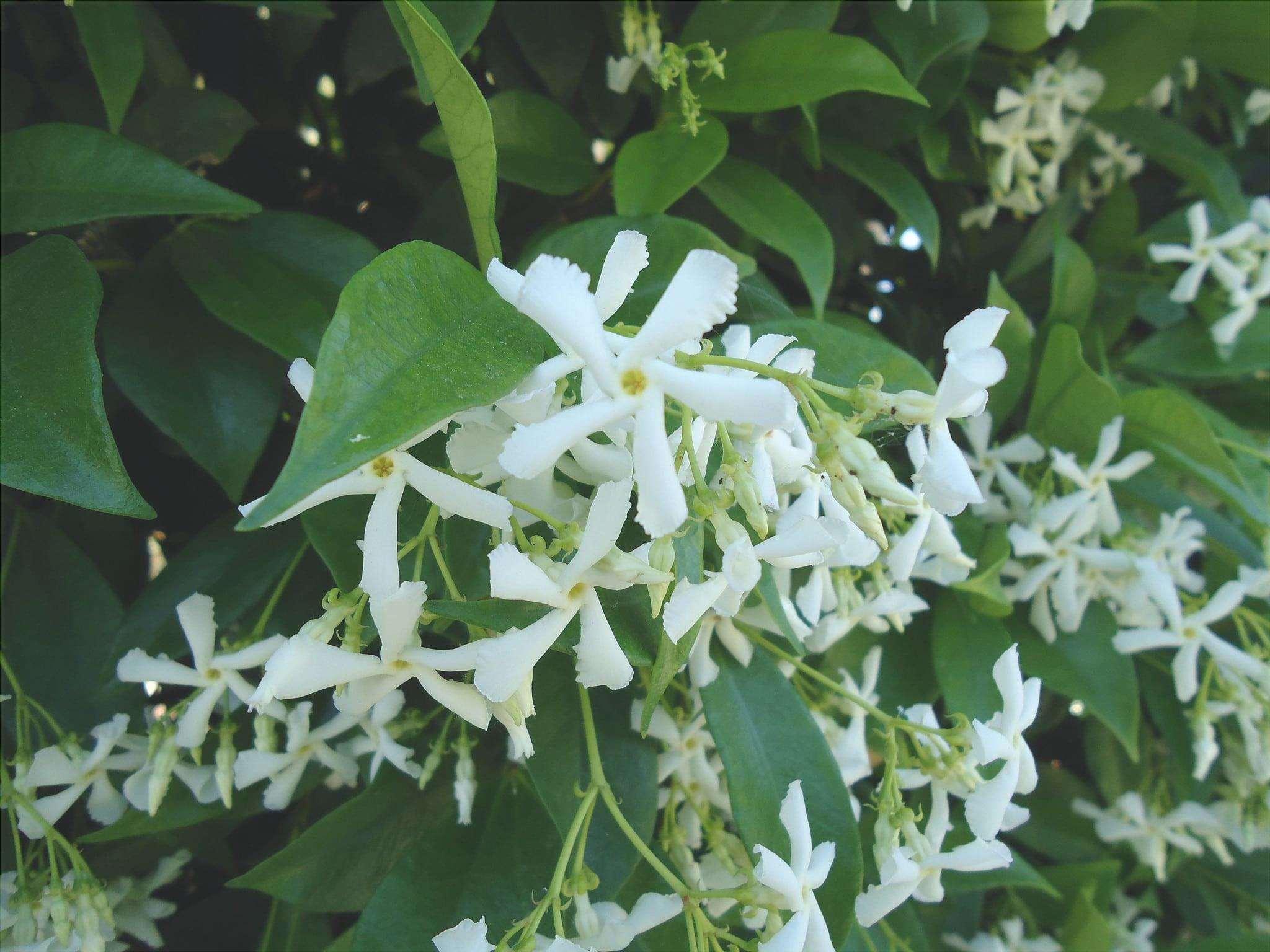 Trachelospermum jasminioides è un rampicante che produce fiori bianchi.