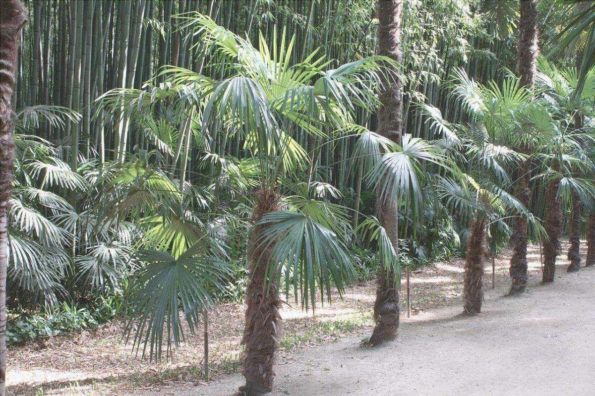 Trachycarpus fortunei è una palma con un solo tronco