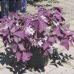 Il trifoglio viola è una pianta erbacea.