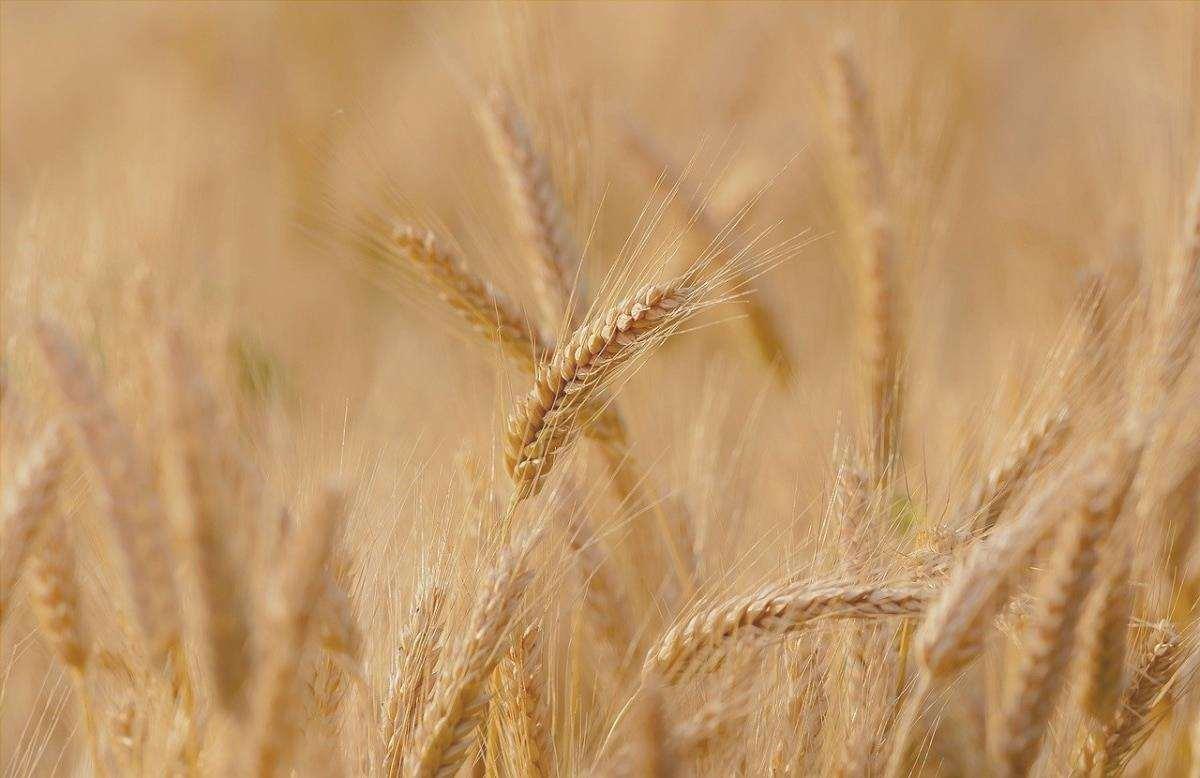 Il grano è una coltura piovosa