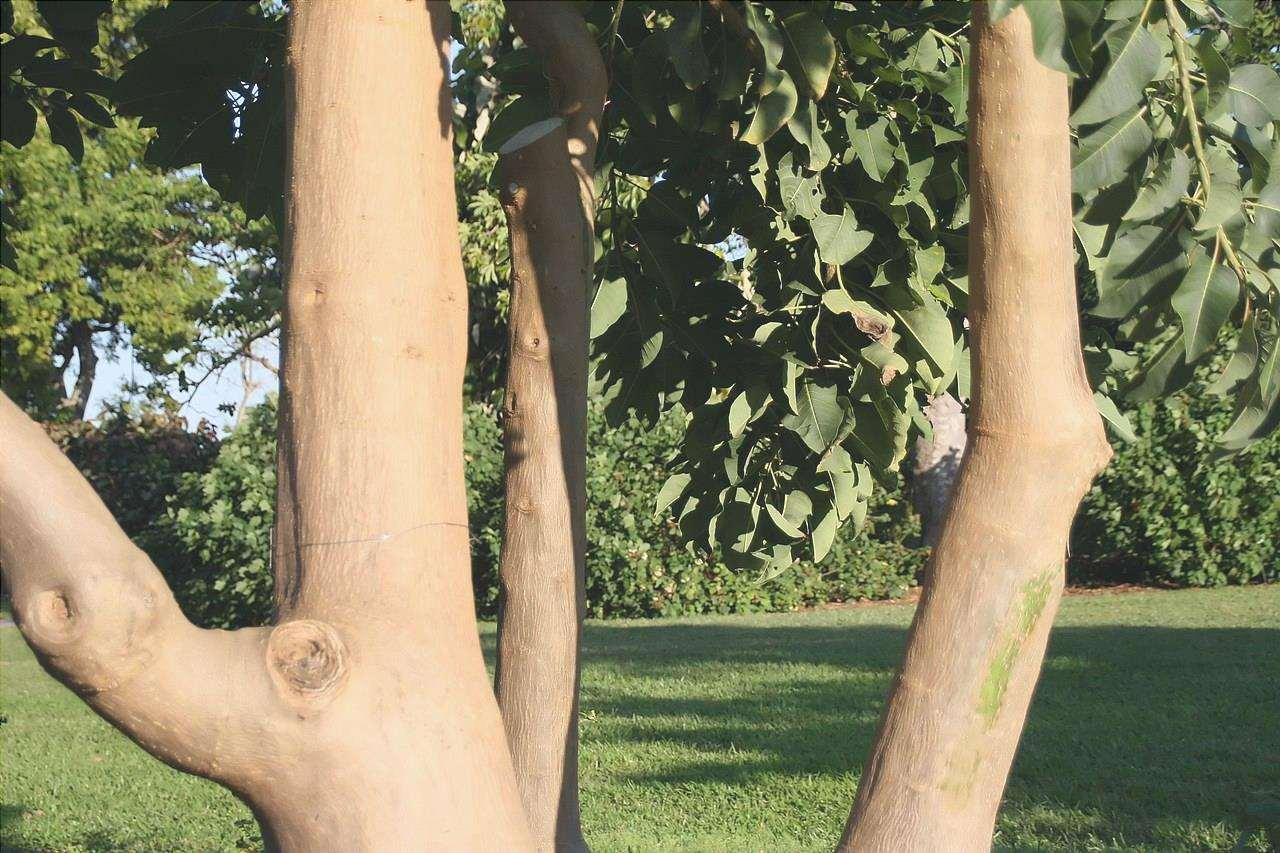 Il tronco dell'ombù è liscio.