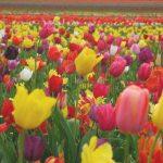 tulipanes1 2