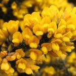ulex europaeus flores