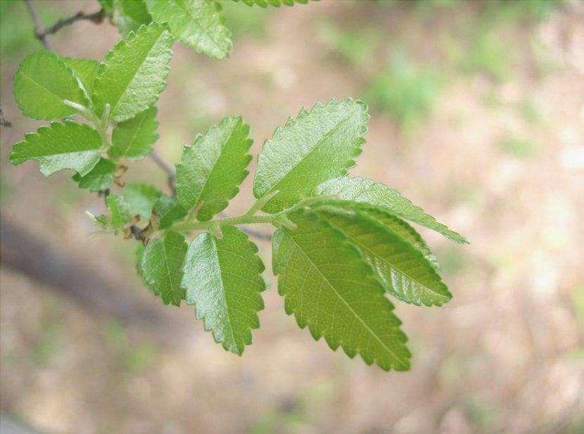 L'olmo cinese è un albero deciduo.