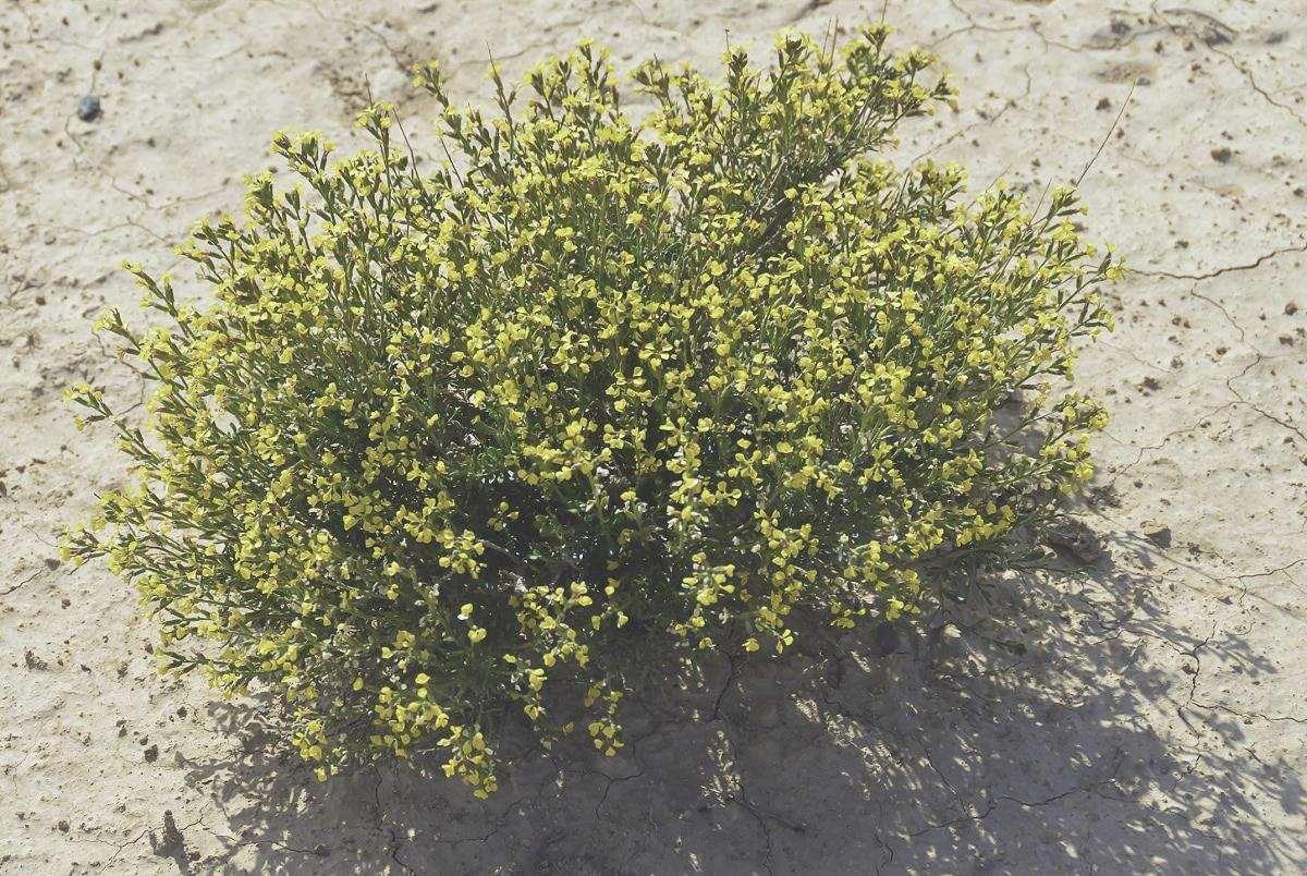 vella pseudocytisus pianta arbustiva