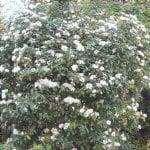 Il durillo è un arbusto con bellissimi fiori.