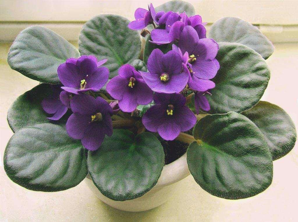 La violetta africana è una pianta delicata.