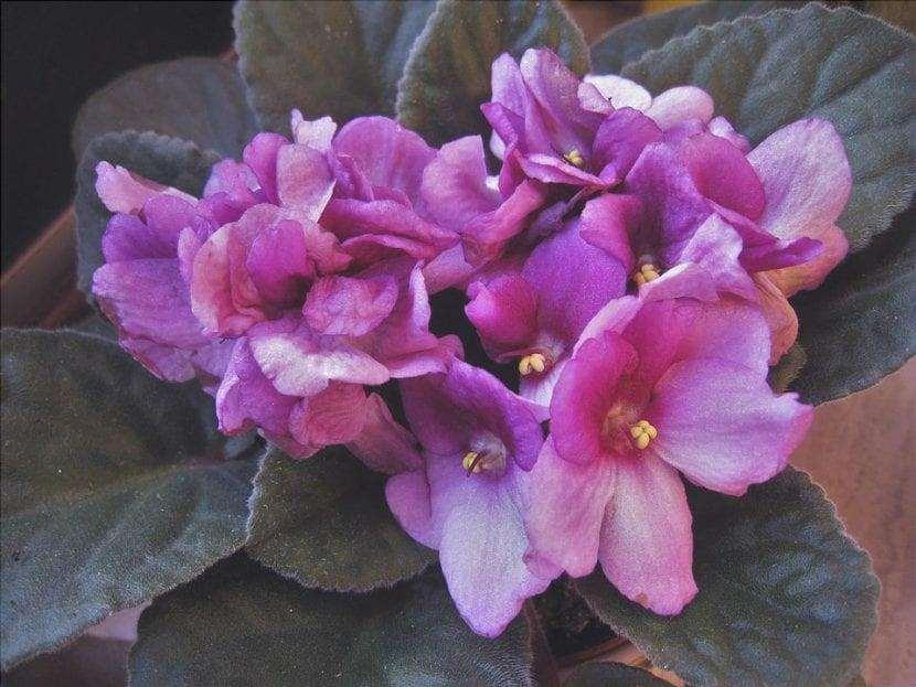 La violetta africana è una pianta sensibile all'eccesso d'acqua.