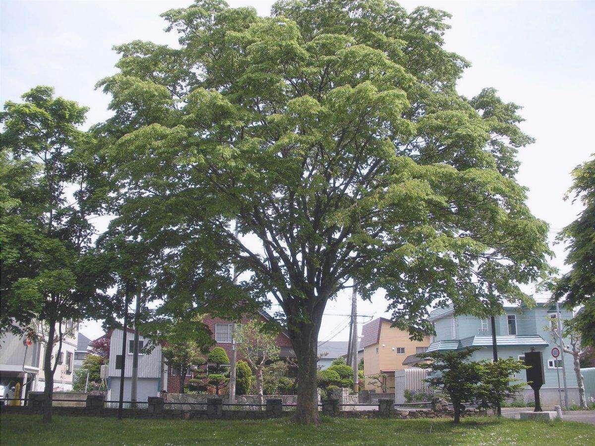 Le Zelkova sono alberi decidui.