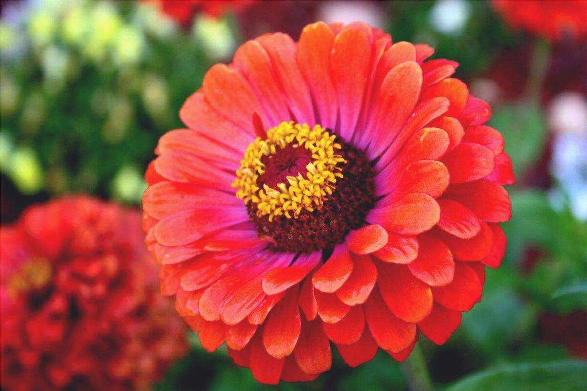Le zinnie fioriscono in estate